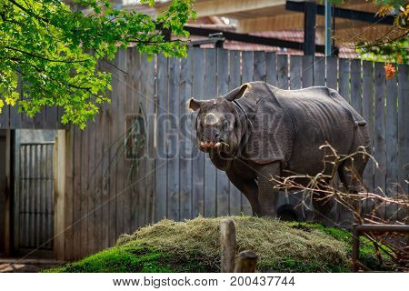 Planckendael zoo Mechelen Belgium - AUGUST 17 2017 : Rhinoceros with cut off horn eating