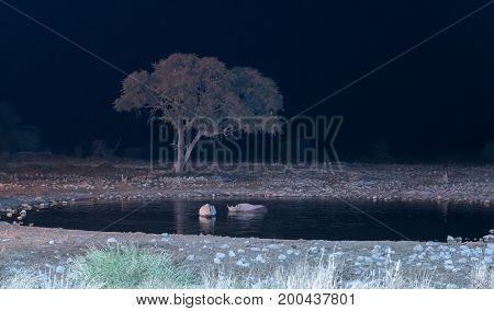 Black rhinos Diceros bicornis also called hook-lipped rhinoceros in an artificially lit waterhole in Northern Namibia