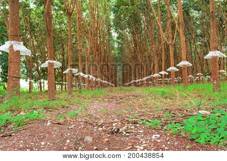 The Trees Wear Mini Skirt ,the Rubber Trees With Rainproof Plastic Sheet In Morning