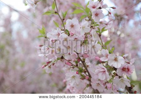 the Spring Cherry blossoms at japan aisa