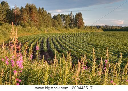 Rows of potato bushes on the farm field before sunset Russia.