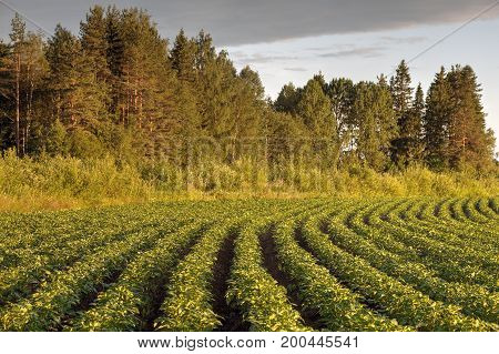 Rows of green potato bushes on a potato field in Russia the Republic of Karelia.