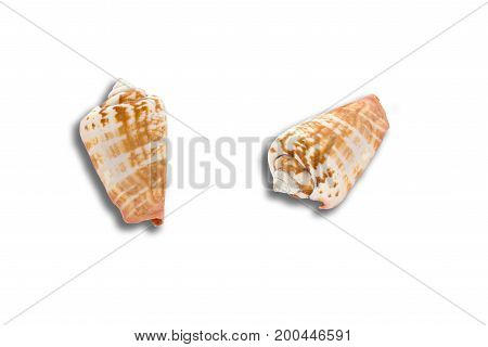 beautiful sea shell isolated on white background closeup.