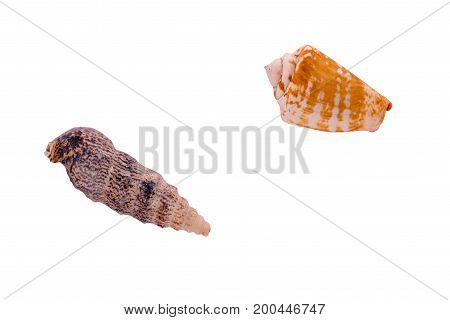 beautiful sea shells isolated on white background closeup.