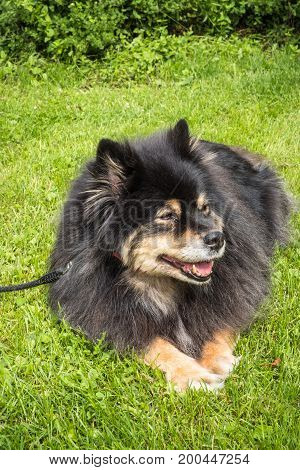 A dog, Finnish Lapphund, resting on a green grass on a summer day