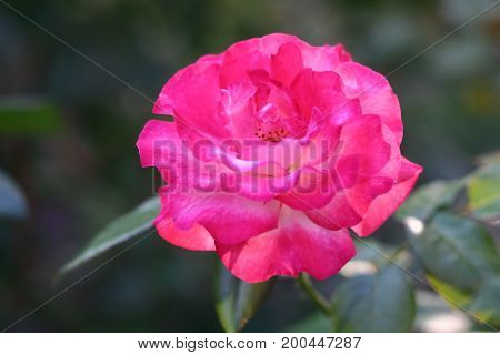 Beautiful rose for screen saver, calendar, postcard.