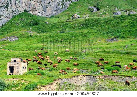 Cows grazing on beautiful green meadow in alps