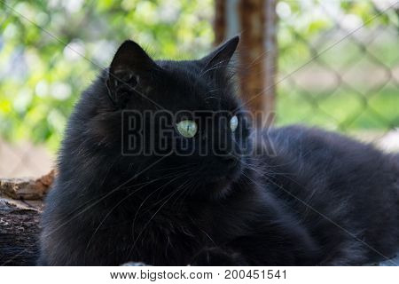Portrait Of Thick Long Hair Black Chantilly Tiffany Cat Relaxing In The Garden On Wood Logs. Close U