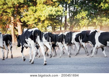 Herd Of Black-and-white Calves Are On The Road In The Dust. Sunny Summer Day. In The Production Conc