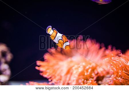Sea Anemone And Clown Fish In Marine Aquarium.