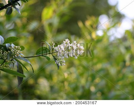 White blooming privet flower in spring with green background
