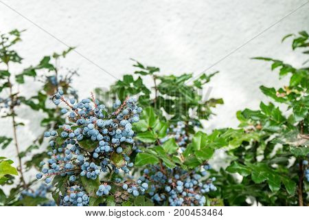 blueberry ripe on plant with wall background