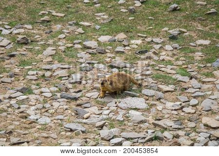 Marmot around the area near Tso Moriri lake in Ladakh, India. Marmots are large squirrels live under the ground.