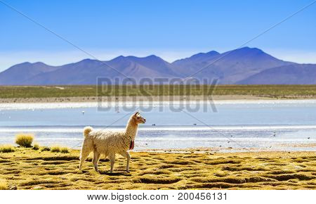 View on Lama by lagoon in Altiplano of bolivia