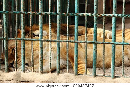lions in captivity, sleeping behind bars in zoo