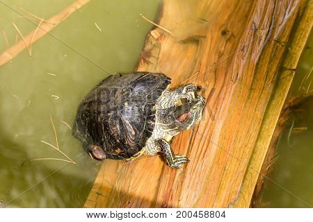 The waterfowl turtle  basking in the sun on a piece of wood closeup