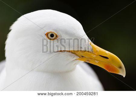 Seagull head close up profile isolated against plain.