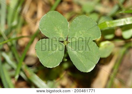 Four Leaf Clover on grass in summer