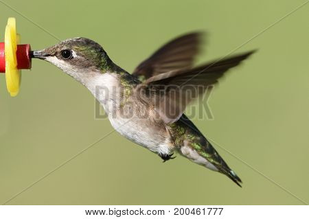Female Ruby-throated Hummingbird (archilochus colubris) in flight at a feeder with a green background