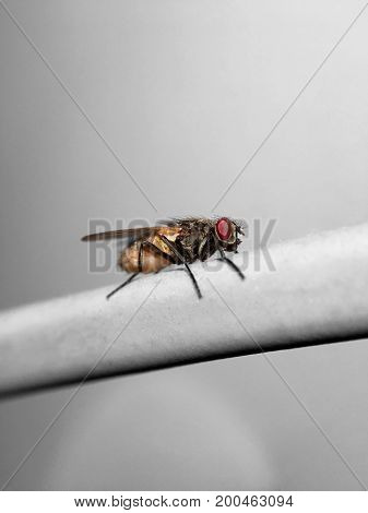 Beautiful meat fly (Sarcophaga carnaria) sitting on a cable