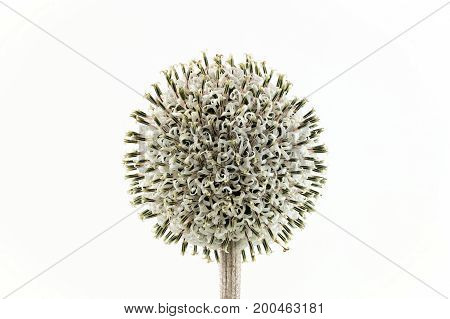Sharply Focussed White Globe Thistle in Bloom