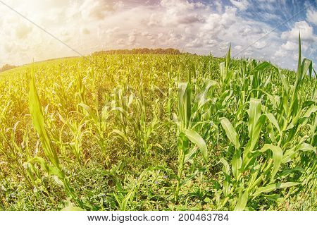 Green corn field with sunset and clouds. Fish eye lens