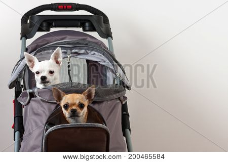 Cinnamon and white Chihuahua are sitting on comfortable pet stroller