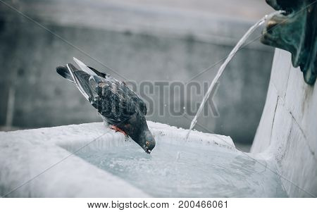 A Thirsty Pigeon Drinks Water On The City Fountain