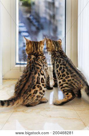 Small Bengal Kitten