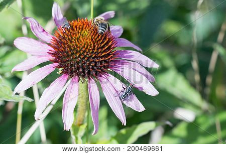 Single Purple Echinacea Flower with a honey bee and 2 flies resting on the stamen
