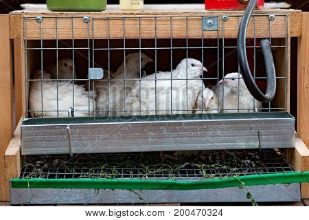 Poultry quail sits in a cage, cage, farm, bird, poultry,