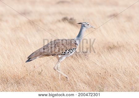 A Kori Bustard Ardeotis kori walking through grass in Northern Namibia. It is the heaviest bird on earth that can fly