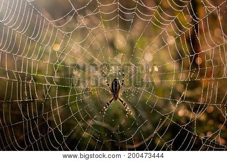 Spider in the middle of the spider web with morning dew