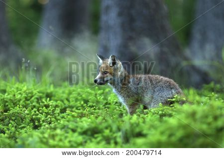 Young red fox in forest on summertime - Vulpes Vulpes