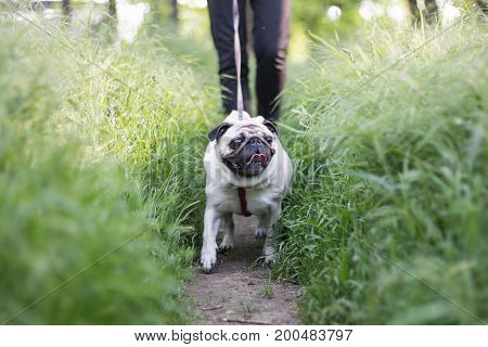 Close up picture of pug walking in green grass , cute little dog in the park