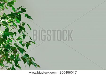 Half the plant with green leaves against the background of a light wall. Minimalistic concept. Copy space