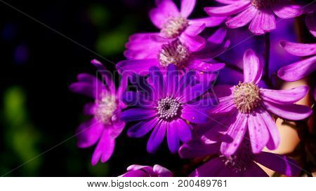 Light purple flowers surrounding a dark flower