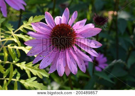 A coneflower growing in the garden during summer