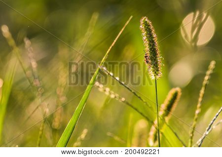 Horizontal photo of grass in a green meadow with a small bee on the main in-focus stalk of grass