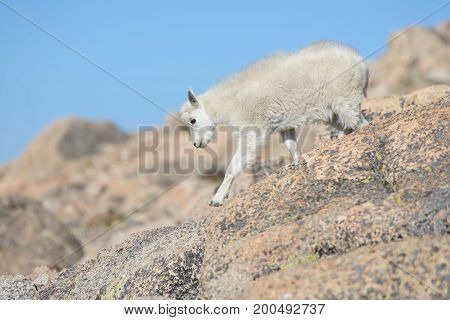 Wild Baby Mountain Goats on Colorado Mountain Peaks.