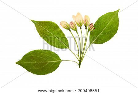 Pressed and dry pink bud flower of apple on racemes with leaves. Isolated on white background. For use in scrapbooking pressed floristry (oshibana) or herbarium.