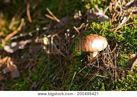 Edible mushroom growing in a pine forest