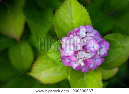 Hydrangea flower full bloom in garden., use for background.
