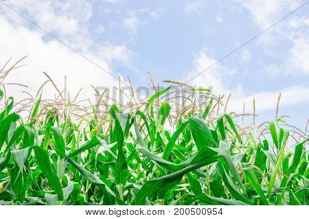 Green corn field growing up on the blue sky