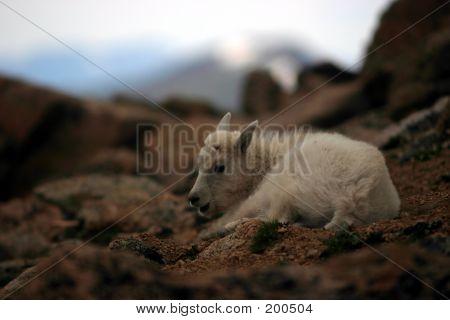 Baby Mtn Goat Resting