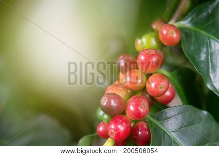 Arabica coffee plant in agriculture farm.Coffee beans ripening on tree in North of thailand.Group of ripe and raw coffee berries on coffee tree branch