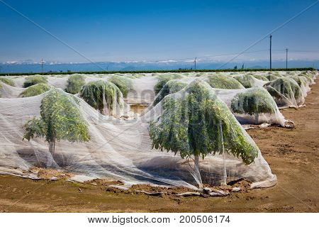 Blooming citrus trees covered with anti-pollination bee netting to prevent pollination and seed development in fruit.