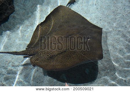 A big stingray swimming in an aquarium