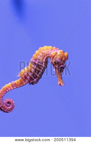 Longsnout Seahorse Known As Hippocampus Reidi