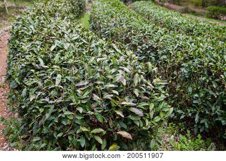 Landscape of Tea plantation Tea plantations fields.